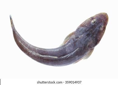 bartail flathead fish,Fish fresh and tasty seafood isolate on white background ,raising ornamental fish