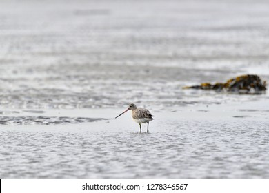 Bar-tailed Godwit at Dublin bay in Ireland