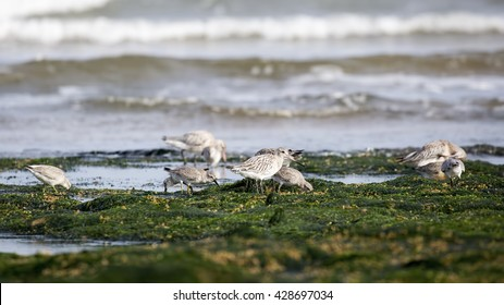 Bar-tailed Godwit (Limosa lapponica) in non-breeding plumage, and Knots (Calidris canutus) foraging on a weedy sea shore, with waves breaking in the background. North Norfolk coast, England, UK.