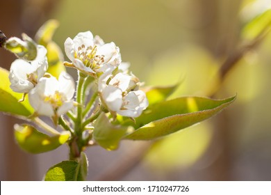 Bartlett Pear Tree blossoms in the early spring