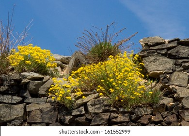 Basalt rock with gold flower blossoms - Aurinia Saxatilis