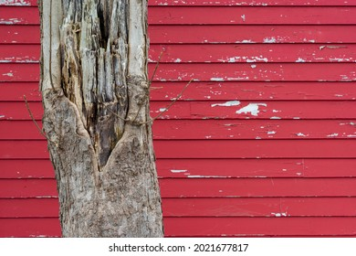 The base of a large rotting tree with bark and damage to the exterior layers. The tree is in front of a bright red wooden clapboard exterior wall of a house. The paint is peeling on the wall.