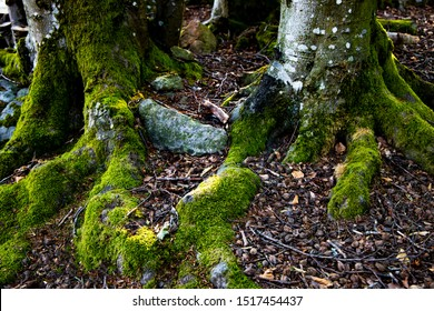 Base of old tree with gnarly roots covered in soft moss; green moss coveres the base of an ancient tree