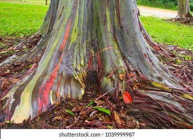 Base of a Rainbow Eucalyptus (Eucalyptus deglupta) tree in Kauai, Hawaii, USA.