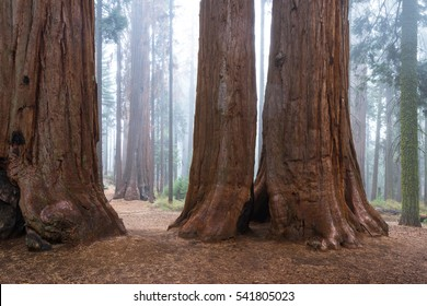 base and trunk of a giant sequoia tree in a forest in the Sequoia National Park in California