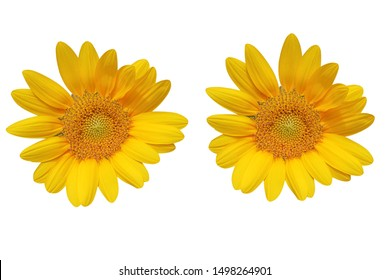 Based on a white background Sunflower flower