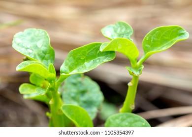 Basella alba ???? Basellaceae