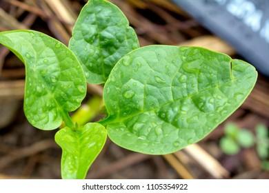 Basella alba  Basellaceae