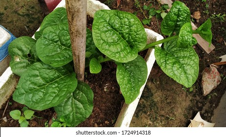 Basella alba is an edible perennial vine in the family Basellaceae. It is found in tropical Asia and Africa where it is widely used as a leaf vegetable. It is also known as Malabar Spinach or Pui Shak