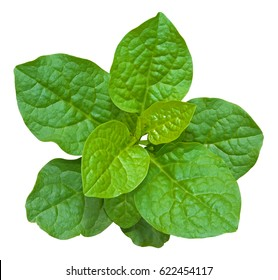 Basella alba, Malabar spinach (Ceylon spinach, East Indian, Indian spinach, Malabar nightshade, Vine spinach) isolated on white background