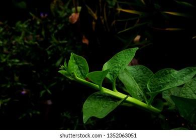 Basella alba. Malabar spinach. Green and fresh