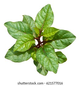 Basella rubra, Malabar spinach (Ceylon spinach, East Indian, Indian spinach, Malabar nightshade, Vine spinach) isolated on white background