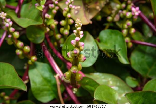 Basella Rubra, Malabar Spinach, Ceylon Spinach, Indian Spinach, Malabar Nightshade, Vine Spinach (Basellaceae)
