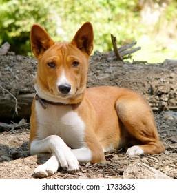 Basenji - an african dog