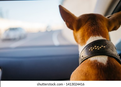 Basenji dog close up view from the back in the car, space for text. Breed cute dog portrait, mood of travel and discovery, place for your text. Cute image of a dog with funny ears