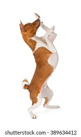 Basenji dog isolated on white background. Side view, dancing