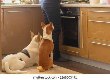 Basenji dog with its mixed breed white friend sitting near stove and patiently waiting till their master finish cooking canine food
