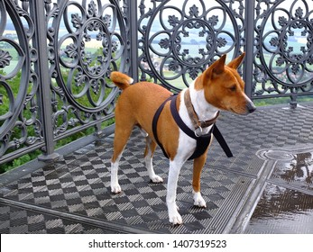 Basenji dog on the top of King Frederick Augustus Tower, Lausitz, Germany