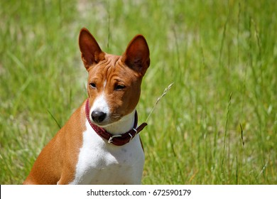 Basenji dog in the park. Purebred gorgeous red dog.