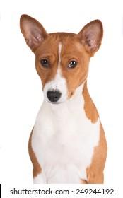 basenji dog portrait
