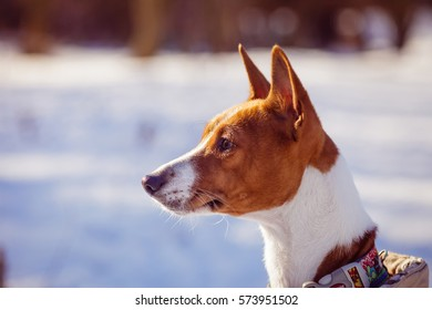 Basenji dog portrait against a background of snow. Sunny winter day
