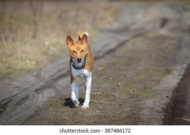 Basenji dog walking in the park. Spring sunny day