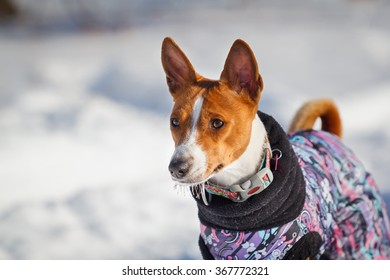 Basenji dog walking in the park in winter. Sunny day, cold. A lot of snow