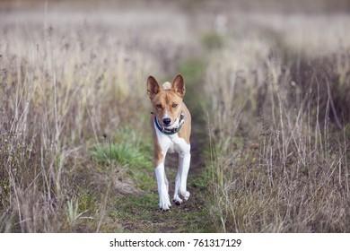 The Basenji dog walks in the park. Autumn sunny day