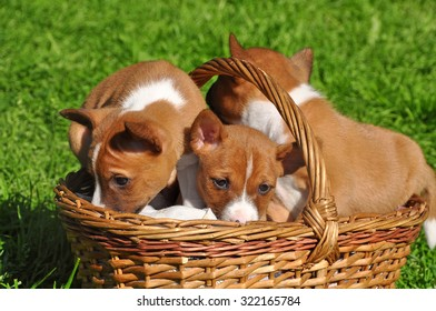 Basenji dogs puppy in the basket