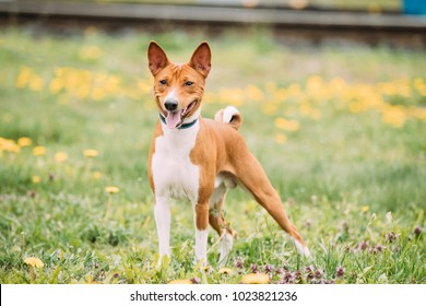 Basenji Kongo Terrier Dog. The Basenji Is A Breed Of Hunting Dog. It Was Bred From Stock That Originated In Central Africa. Smiling Dog.