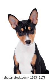 Basenji puppy, 3 month, isolated on the white
