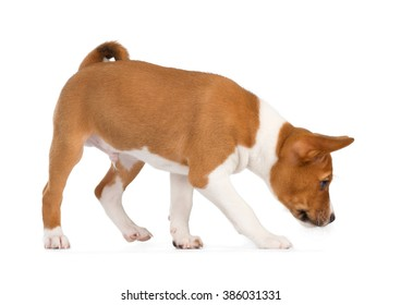 Basenji puppy isolated on white background. Side view, sniffing