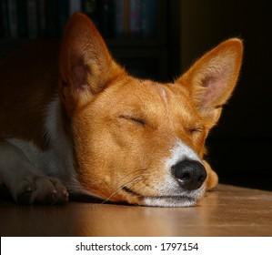 Basenji sleeping on the floor