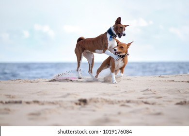 Basenjis play in the sea on the summer
