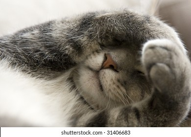 Bashful Gray Cat with Paws over Face
