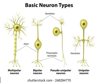 basic neuron types unipolar pseudo unipolar neuron bipolar and multipolar neurons