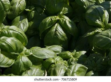 Basil culinary herb
