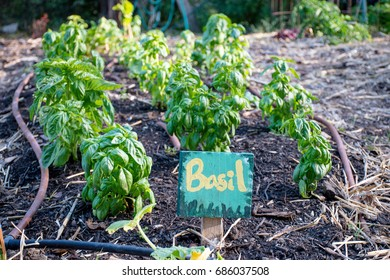 Basil in the Garden with a sign and label