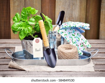 Basil and gardening tools. Herb garden. Toned image
