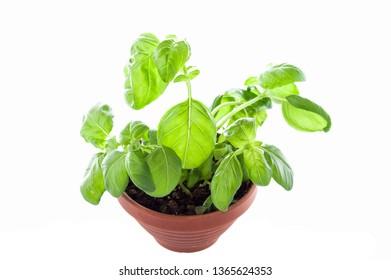 Basil growing in a flowerpot. Growing basil in a pot. Top.