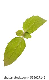 Basil herb sprig isolated on a white background. Basil belongs to the mint family.