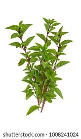 basil herb, variety 'Tauris', Ocimum x hybrida 'Tauris', isolated on white