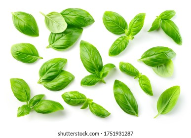 Basil isolated. Basil leaf on white. Basil leaves top view set.