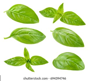 Basil. Basil leaf isolate. Collection.
