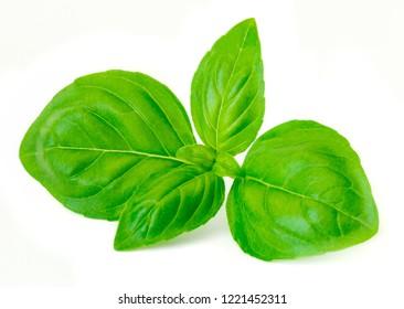 Basil leaf isolated  on white background. Fresh green basil herb. Macro