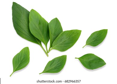 Basil leaf isolated on white background. This has clipping path.