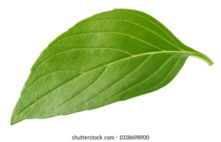 Basil leaf isolated without shadow