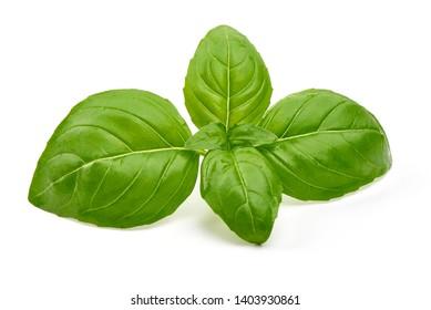 Basil leaves, fresh spice, close-up, isolated on white background.
