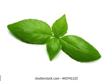 basil leaves isolated