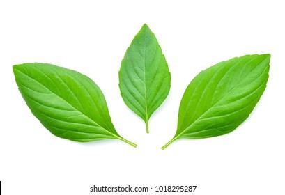 Basil leaves isolated on white background.